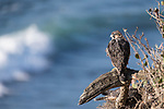 La Jolla, California; two juvenile Peregrine Falcons (Falco peregrinus) perched on a cliff with the Pacific Ocean in the background