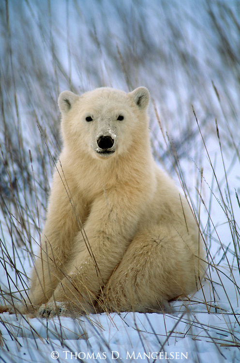 Nestled into the scant protection of remaining exposed grasses, a cub born just ten months ago appears to be posing pretty for the camera in Wapusk National Park, Manitoba, Canada.