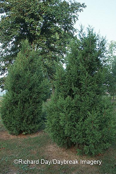 63808-016.03 Juniper (Juniperus keteleri) Marion Co.   IL