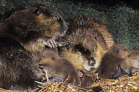 Beaver Family (Castor canadensis) inside lodge where two young kits are nursing.  Western U.S.