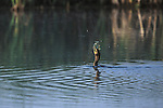 Black Cormorant eating a pan fish just caught in a pond at the Lee Metcalf Wildlife Refuge in western Montana