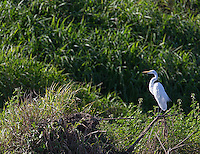 Great egrets are just one of many herons and wading birds found near the Rio Tarcoles.