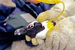 Marking African Penguin