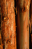 Espirito Santo State, Brazil. Close - up of a trunk of eucalyptus tree showing the bark; Aracruz plantation.