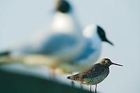 24.04.2009<br /> Redshank (Tringa totanus) pirosl&aacute;b&uacute; cank&oacute;<br /> Westerhever, Germany
