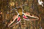 Spurge Hawk Moth, Hyles euphorbiae, resting on tree trunk, showing wing pink and brown colours, defence and warning.United Kingdom....