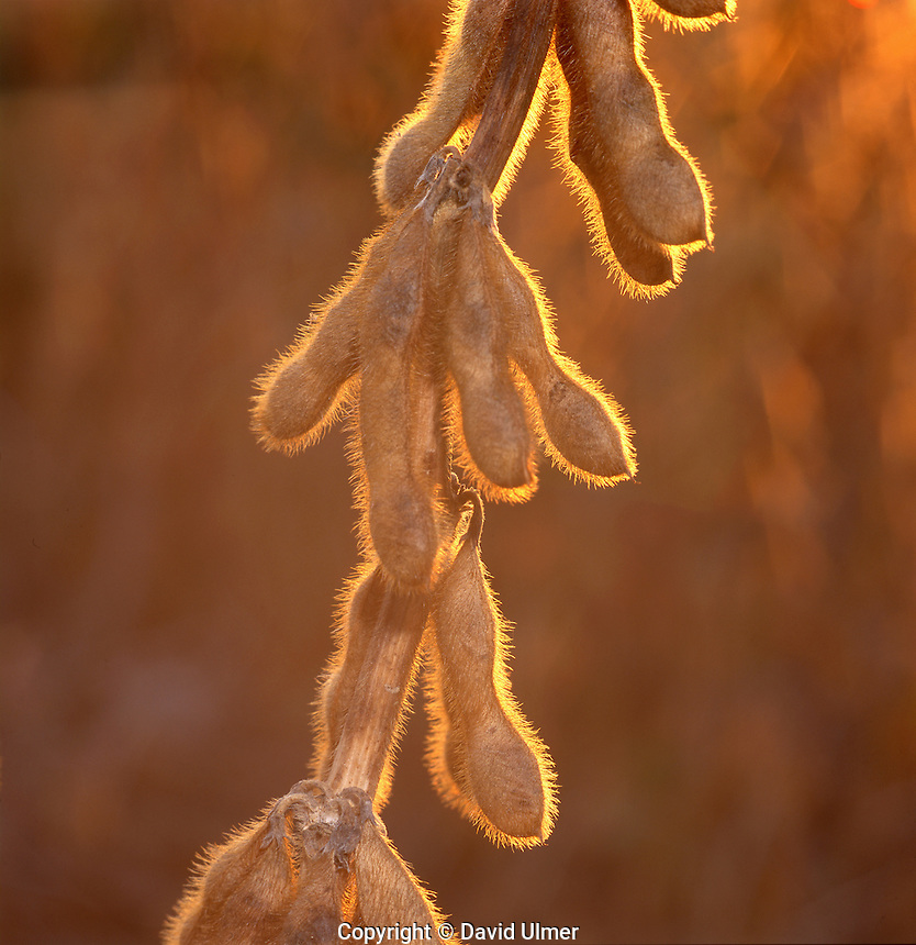 Backlit mature soybean pods