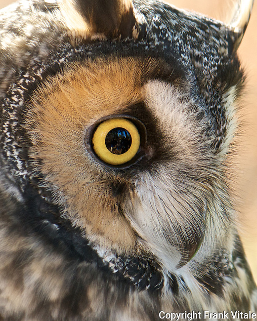 This male Long-eared Owl, named Leo, resides at the Center for Wildlife in Cape Neddick, ME. It is being cared for at the Center for an injury that prevents it from being returned to the wild.