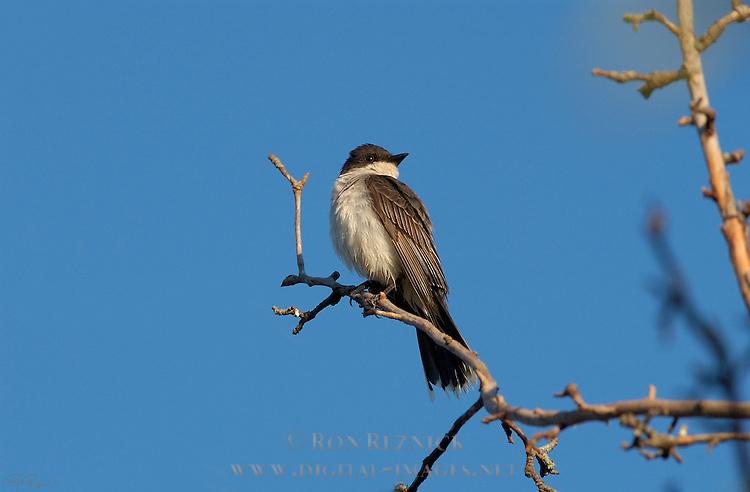 Eastern Kingbird Tyrant Flycatcher Catskill Mountains New York