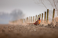 Common Pheasant (Phasianus colchicus) in a field.
