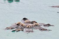 Alaskan or Northern Sea Otter (Enhydra lutris) raft.