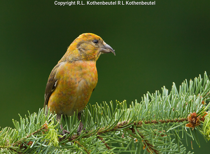 Red crossbill (Loxia curvirostra) Male perched on a fir bough. His plumage is in transition from golden to red. He is probably an immature bird.<br />