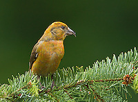 Red crossbill (Loxia curvirostra) Male perched on a fir bough. His plumage is in transition from golden to red. He is probably an immature bird.<br /> Woodinville, King County, Washington State<br /> 5/29/2012