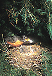 American robin Turdus migratorius removing fecal sacs from nest