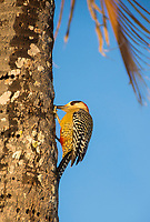 A West Indian Woodpecker, Melanerpes superciliaris murceus, perches on the trunk of a coconut palm on Isla de la Juventud, Cuba