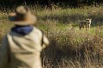 Coyote (Canis latrans) biologist, Jonathan Young, watching juvenile male, Presidio Golf Course, Presidio, San Francisco, Bay Area, California