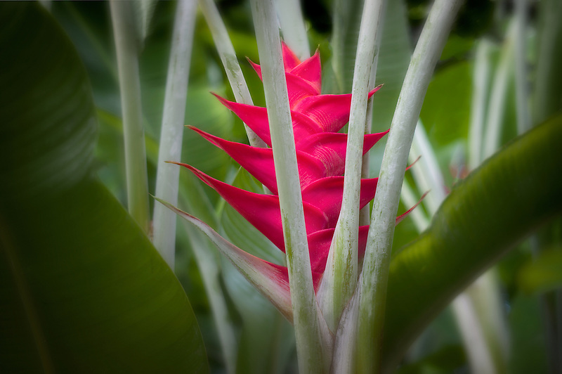 Heliconia flower. The Big island, Hawaii.