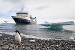 Adele penguins on Paulet Island, Antarctica