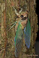 0901-0817  Recently Emerged Adult Dog-day Cicada, Tibicen spp.  © David Kuhn/Dwight Kuhn Photography..