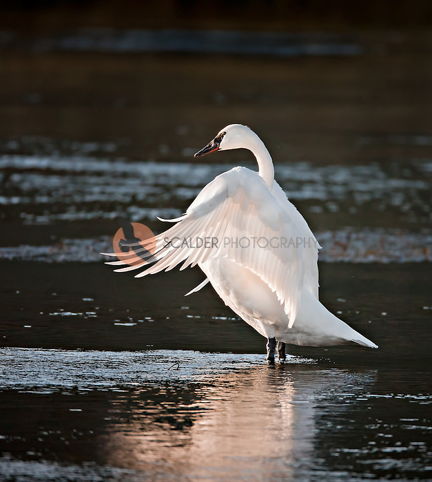 Adult Trumpeter Swan flapping wings in Yellowstone National Park at sunset