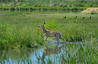 625250021 a wild mule deer odocoileus hemionus in a grassy field in modoc national wildlife refuge california