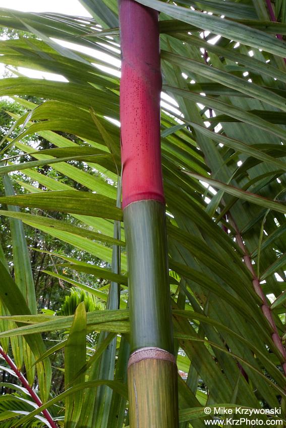 Sealing Wax Palm (Cyrtostachys renda)