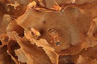 A Tetragona ziegleri queen bee.///Reine de Tetragona ziegleri.