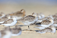 Juvenile Dunlin (Calidris alpina). Busan, South Korea.