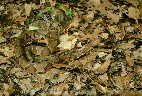 "Adult Copperhead snake, Agkistrodon contortrix, partly hidden by fall leaves poised and at attention using tongue to ""sniff"" the environment. Midwest USA"