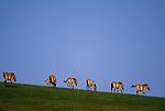 Przewalski's wild horses or Takhi (Equus przewalskii), Gorkhi-Terelj National Park, Mongolia<br /> Canon EOS-1N<br /> Canon EF 70-200mm lens<br /> June 1998