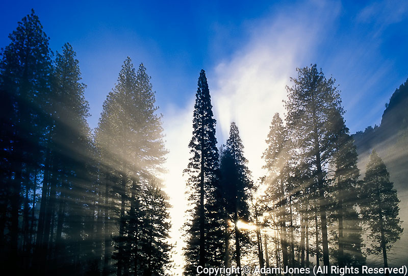 Morning sunlight filtering through stand of Lodgepole pine trees,  Yosemite National Park, California