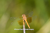 06664-00106 Band-winged Meadowhawk dragonfly (Sympetrum semicinctum) female, DuPage Co.  IL
