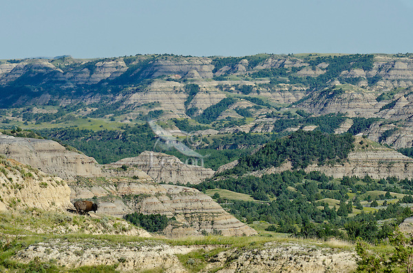 Lone bull bison (Bison bison) overlooking the valley of the Little Missouri River in the North Unit of Theodore Roosevelt National Park, North Dakota.  Summer.