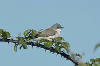 Lesser Whitethroat Sylvia curruca L 12-13cm. Small, rather short-tailed warbler with retiring habits but distinctive song. Sexes are similar. Adult and juvenile have blue-grey crown, dark mask and grey-brown back and wings. Underparts are pale, whitish on throat but washed pale buff on flanks. Has dark legs, dark-tipped grey bill and pale iris. Voice Utters a harsh chek alarm call. Song is a tuneless rattle, sung on one note, usually preceded by short warbling phrase. Status Fairly common summer visitor, mostly to S and SE England. Favours areas scrub and hedgerows with dense Hawthorn and Blackthorn.