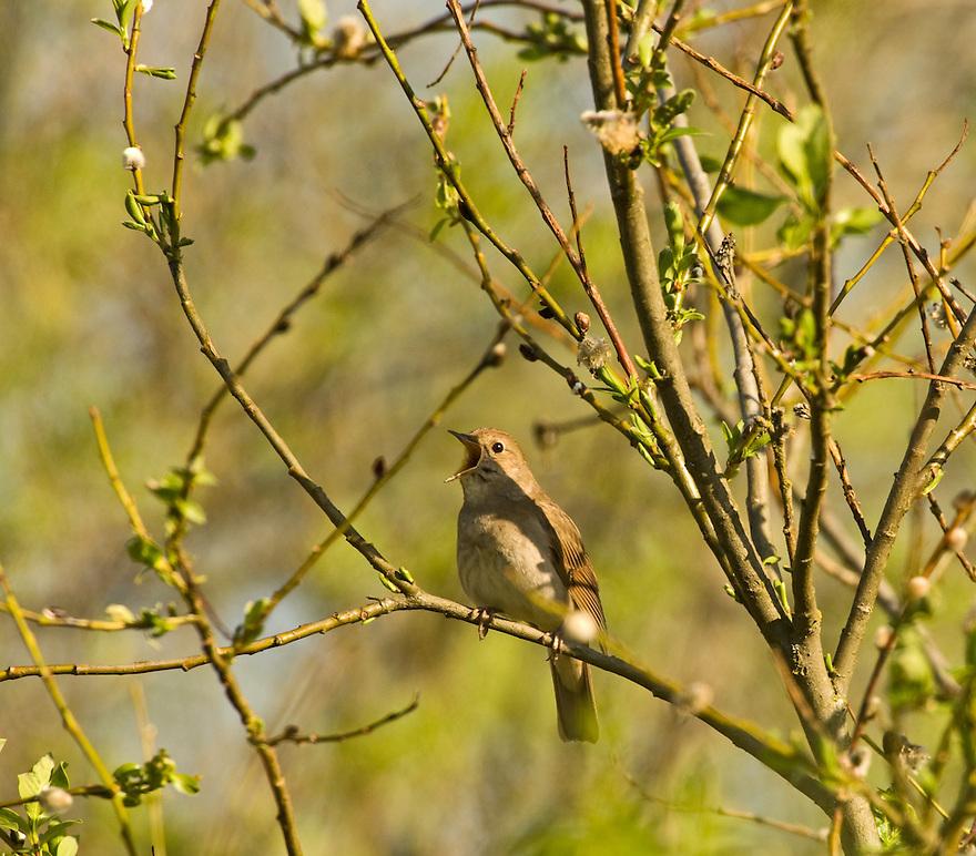 Trush nightingale (Luscinia luscinia), Matsalu Bay Nature Reserve, Estonia