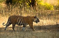Tiger male (Panthera tigris tigris), walking, Bandhavgarh National Park, India, February 2013