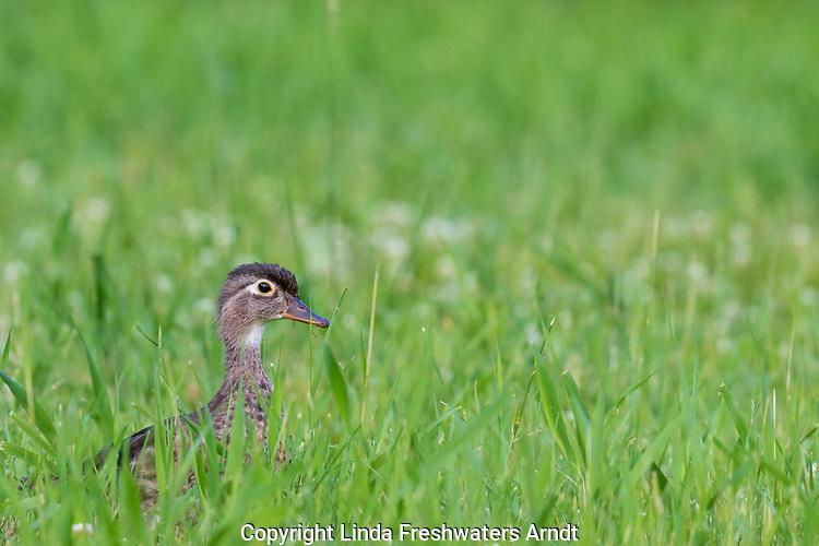 Hen wood duck in a summer meadow.