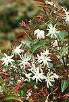 5656-CM Angel-Wing Jasmine, Jasminum nitidum, at Huntington Gardens.