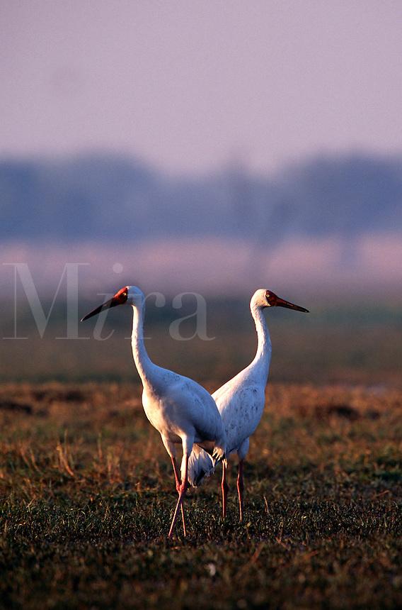 Siberian crane.