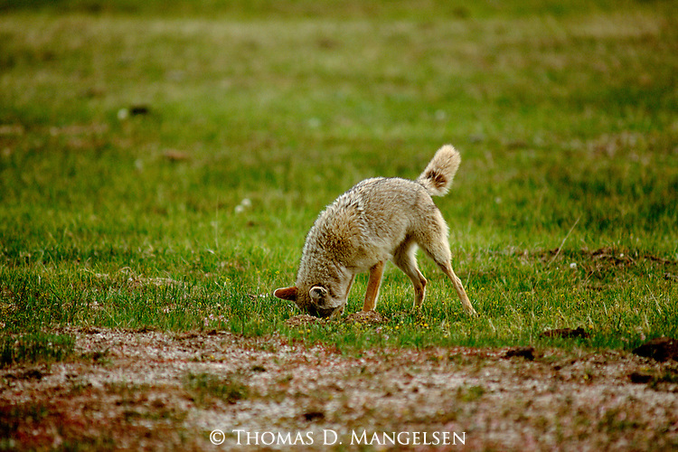 A coyote pounces on its prey in Northwest Wyoming.