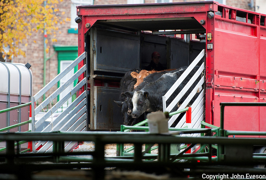 Unloading beef cattle from a livestock lorry at Darlington Auction Mart, Darlington, Co. Durham.