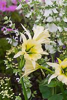 Hymenocallis 'Sulphur Queen' AGM bulb, <br /> Easy-to-grow hybrid of Hymenocallis narcissiflora x H. amancaes. Aka Hymenocallis x hybrida 'Sulphur Queen' commonly called Peruvian Daffodil