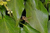 Eupeodes luniger