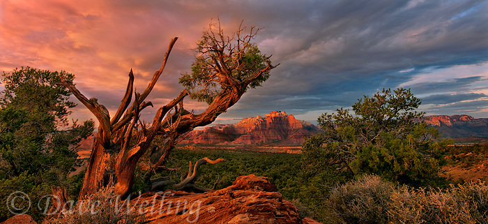 999400011 a twisted juniper frames the back side of west temple in zion national park below summer storm clouds in this panoramic view from smithsonian national scenic byway near hurricane utah united states