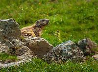 Alpine Marmot (Marmota marmota) | Alpenmurmeltier (Marmota marmota)