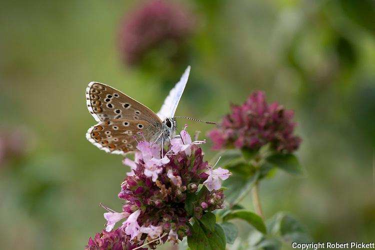 Adonis Blue Butterfly, Polyommatus bellargus, Temple Ewell, Kent Wildlife Trust, UK, wings open showing underside of wings