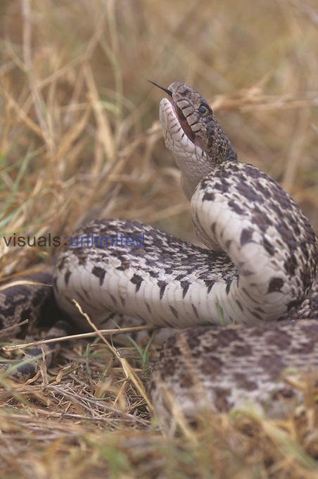 Pine Snake (Pituophis melanoleucus) in defensive pose, Rio Grande, Texas.