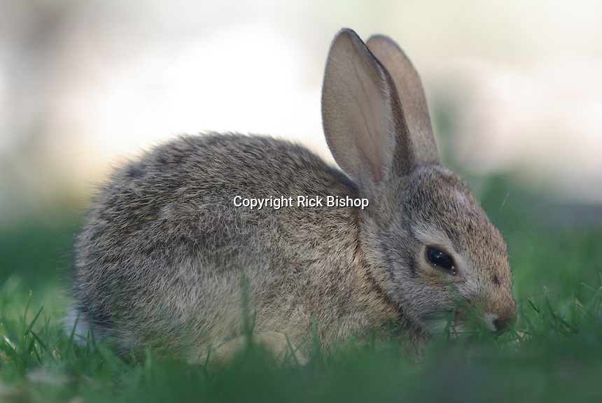 A young Desert Cottontail likes the grass.