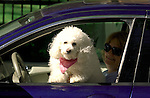 White poodle in Purple car