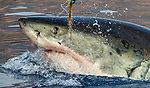 Pictured: Pictures capture the exact moment a tooth flies from a great white shark's mouth as it bites down on a tuna head being used for bait.  The tuna, which is attached to a buoy, was being used to lure the 14ft-long female to a cage diving boat near Guadalupe Island, 150 miles west of Mexico's Baja Peninsula.<br /> <br /> Typically, the tuna would be pulled away before it's eaten, but the great white had launched towards the tuna from below, blindsiding the bait masters.  An abundance of yellow-fin tuna in the waters around Guadalupe Island attracts some of the largest white sharks in the world.  SEE OUR COPY FOR MORE DETAILS.<br /> <br /> Please byline: William Buchheit/Solent News<br /> <br /> © William Buchheit/Solent News & Photo Agency<br /> UK +44 (0) 2380 458800